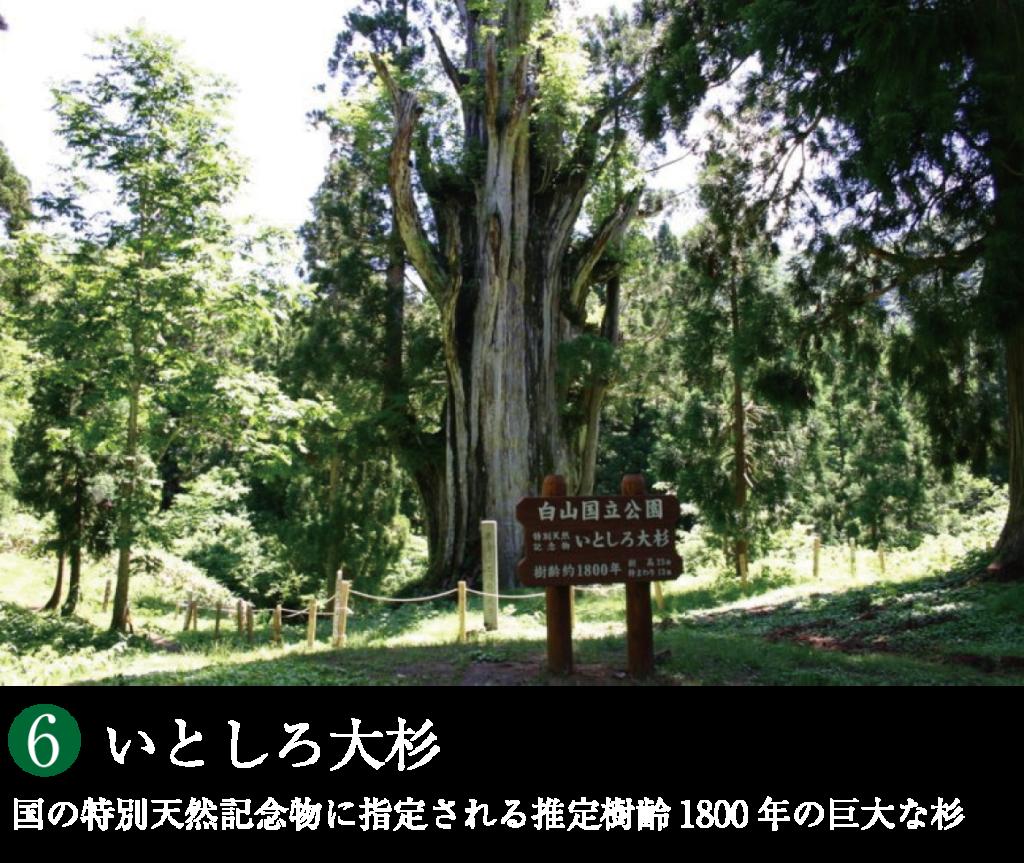 石徹白大杉
